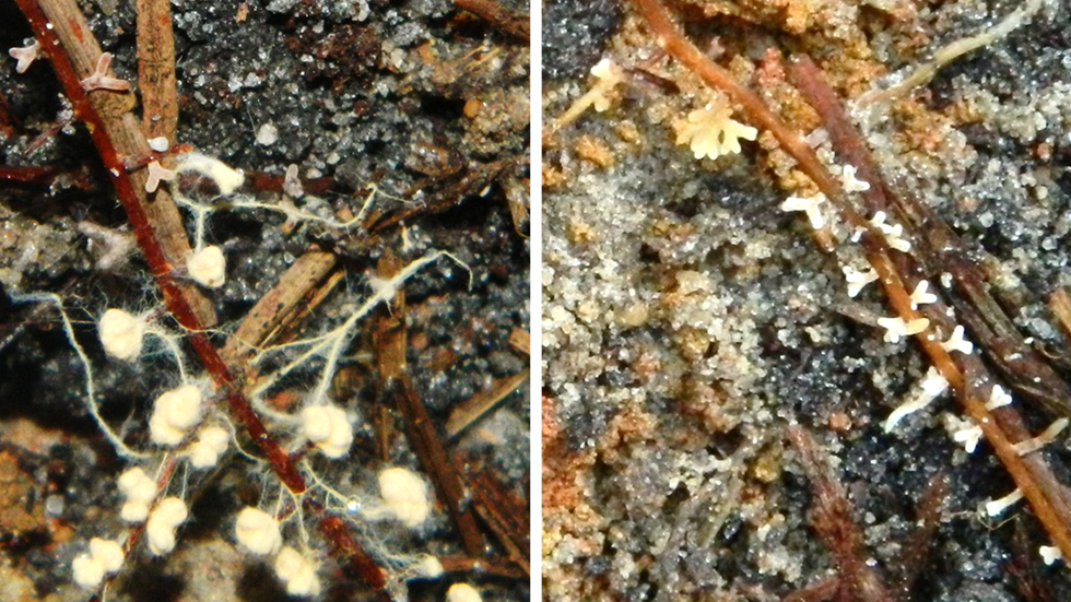 Ectomycorrhizas on pine roots