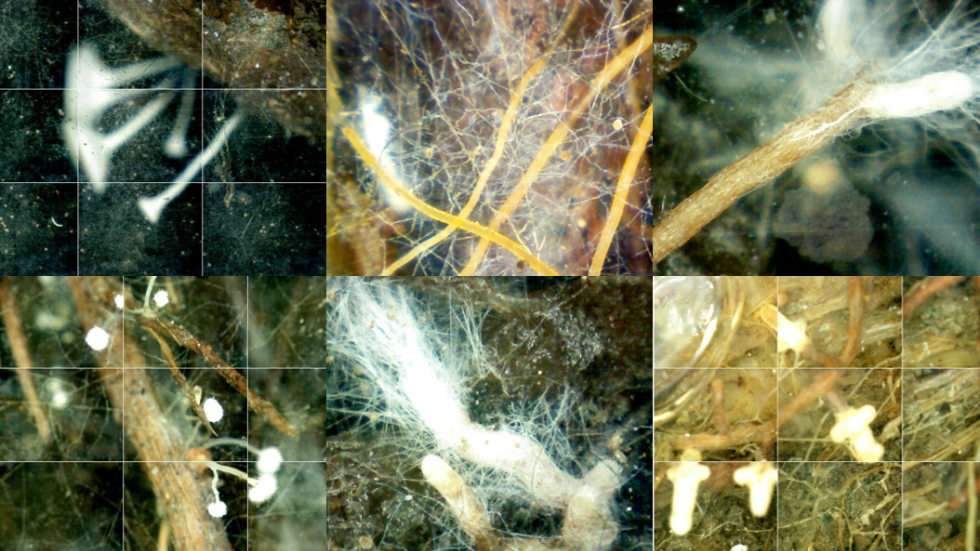 Fine roots and fungi in a bog